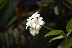 Blanco de la flor del Plumeria Imagen de archivo