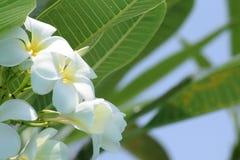 Blanco de la flor del Plumeria Fotografía de archivo