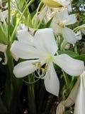 Blanco de la flor en jardín fotografía de archivo libre de regalías