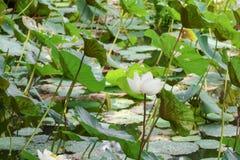 Blanco de la flor de Lotus en natural hermoso del agua en jardín Foto de archivo