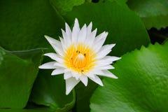 Blanco de la flor de Lotus o agua lilly y la abeja chupada en polen ciérrese encima de hermoso en naturaleza Fotos de archivo