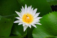 Blanco de la flor de Lotus o agua lilly y la abeja chupada en polen ciérrese encima de hermoso en naturaleza Imagen de archivo libre de regalías