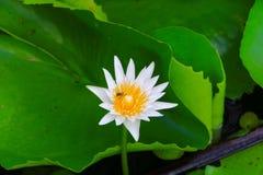Blanco de la flor de Lotus o agua lilly y la abeja chupada en polen ciérrese encima de hermoso en naturaleza Fotografía de archivo