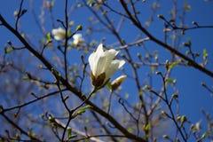 Blanco de la flor de la magnolia Fotos de archivo libres de regalías