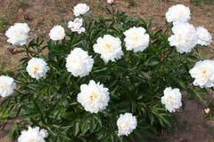 Blanco de la flor de la peonía Fotos de archivo