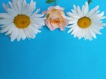 Blanco de la manzanilla en el jardín, fondo de las flores fotografía de archivo