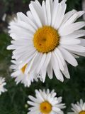 Blanco de la manzanilla en el jardín, fondo de las flores imagen de archivo libre de regalías