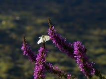 Blanco de la mariposa del vuelo imagen de archivo