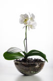 Blanco de la orquídea en un pote de cristal Foto de archivo