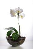Blanco de la orquídea en un pote de cristal Foto de archivo libre de regalías