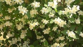 Blanco de las flores del jazmín