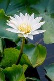 Blanco de Lotus Fotografía de archivo libre de regalías