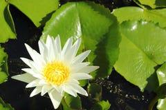 Blanco de Lotus en la naturaleza Fotografía de archivo