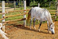 Blanco del caballo Fotografía de archivo libre de regalías
