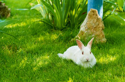 Blanco del conejo Fotografía de archivo