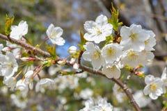 Blanco del flor de la primavera en rama Fotos de archivo libres de regalías