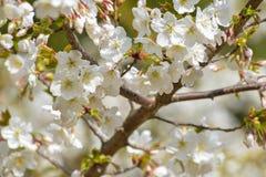 Blanco del flor de la primavera en rama Imagen de archivo libre de regalías