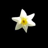 Blanco del narciso imágenes de archivo libres de regalías