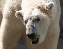Blanco del oso polar Imagen de archivo