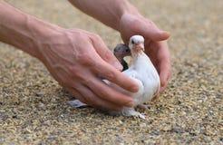 Blanco del pájaro del polluelo de la paloma en las manos de la arena y del hombre Foto de archivo libre de regalías