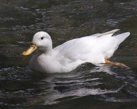 Blanco del pato Fotografía de archivo libre de regalías