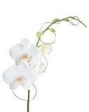 Blanco del phalaenopsis de la orquídea Imágenes de archivo libres de regalías