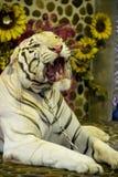 Blanco del tigre Fotos de archivo