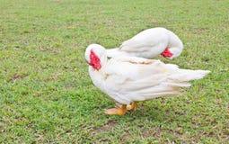 Blanco Duck Clean Itself de Muscovy. Imagen de archivo