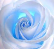 Blanco - el azul se levantó Imagen de archivo libre de regalías