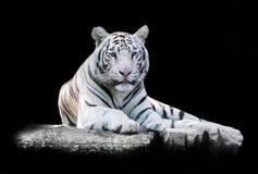 Blanco el tigre de Bengala imágenes de archivo libres de regalías