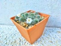 Blanco-espina dorsal del cactus del grupo en pote plástico anaranjado Foto de archivo