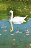 Blanco hermoso aserrado en un lago del bosque Foto de archivo