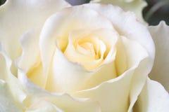 Blanco hermoso color de rosa, primer Fotos de archivo libres de regalías