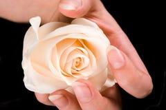 Blanco hermoso color de rosa y mano Fotos de archivo libres de regalías