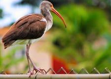 Blanco Ibis de Inmature Imágenes de archivo libres de regalías