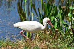 Blanco-Ibis en el lago Harris en la Florida Foto de archivo libre de regalías