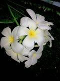 Blanco Leelawadee de las flores blancas Fotos de archivo libres de regalías