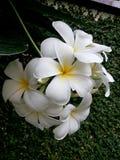 Blanco Leelawadee de las flores blancas Foto de archivo libre de regalías