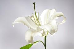 Blanco lilly Fotografía de archivo