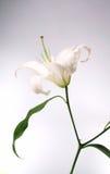 Blanco lilly Imágenes de archivo libres de regalías