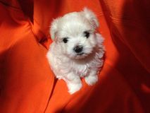 Blanco maltés del perrito Fotografía de archivo