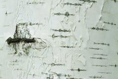 Blanco natural de la corteza de abedul y primer del fondo de las rayas negras Foto de archivo libre de regalías