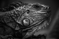 Blanco negro de la iguana Fotografía de archivo libre de regalías