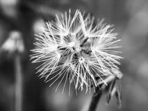 Blanco negro salvaje de la mala hierba seca Imagen de archivo