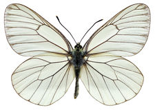 Mariposa blanca Negro-veteada aislada Imagen de archivo