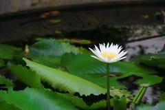 Blanco o agua de la flor de Lotus lilly ciérrese encima de hermoso en naturaleza Fotos de archivo
