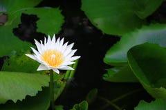 Blanco o agua de la flor de Lotus lilly ciérrese encima de hermoso en naturaleza Imagen de archivo libre de regalías