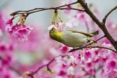 Blanco-ojo japonés con las flores de cerezo rosadas Imágenes de archivo libres de regalías