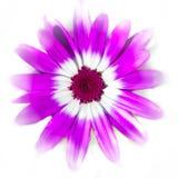 Blanco púrpura en blanco fotos de archivo