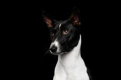 Blanco pedigrí con el perro negro de Basenji en fondo aislado fotografía de archivo libre de regalías
